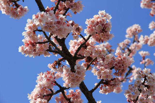 日本の桜 あたみ桜