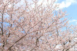 日本の桜 ソメイヨシノ(染井吉野)