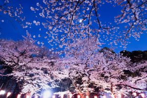 日本の桜 上野恩賜公園
