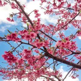 日本の桜 寒緋桜