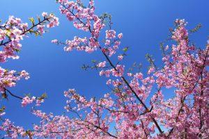 日本の桜 河津桜