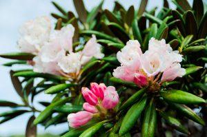 ヤクシマシャクナゲ(屋久島石楠花)