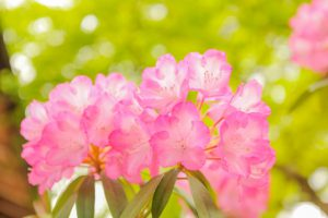 日本石楠花03