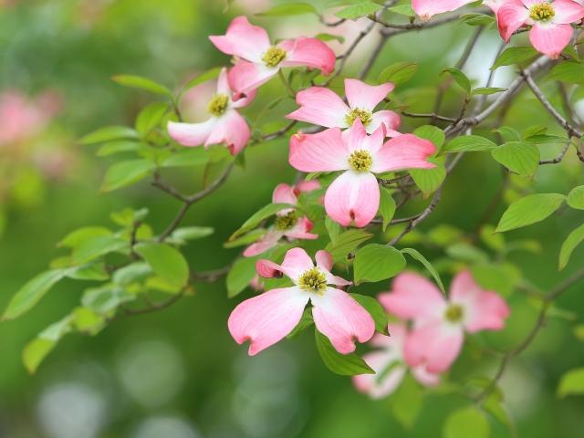 ハナミズキ(花水木)01