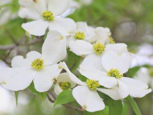 ハナミズキ(花水木)02