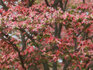 ハナミズキ(花水木)03