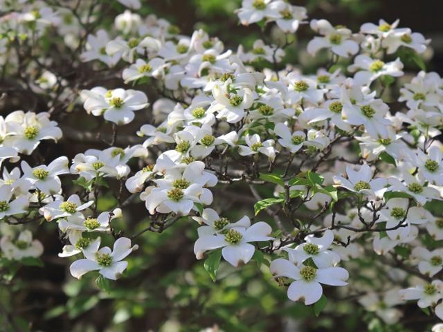 ハナミズキ(花水木)04