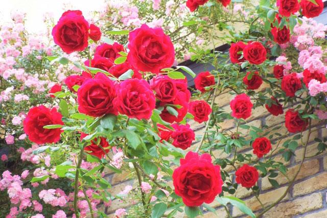 バラ(薔薇):つる性01