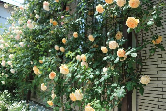 バラ(薔薇):つる性03