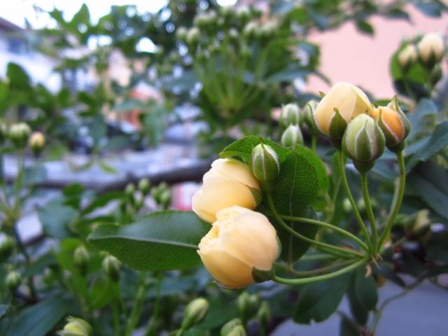 バラ(薔薇):モッコウバラ03