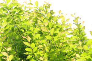 新緑(ヒメシャラ)