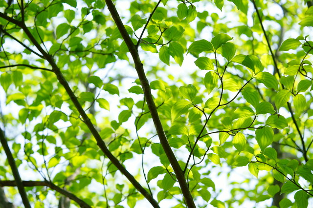 新緑(ヤマボウシ)