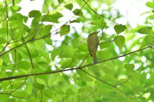 新緑(鳥)