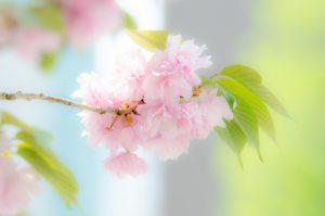 【里桜】サトザクラ