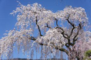 【枝垂れ桜】シダレザクラ