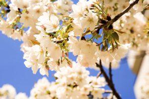 【大島桜】オオシマザクラ