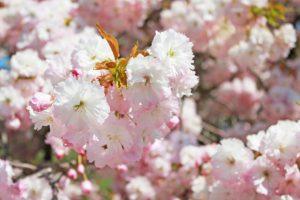 【八重桜】ヤエザクラ