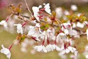 【豆桜】マメザクラ