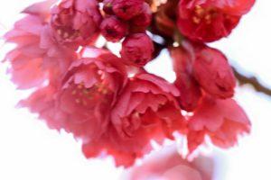 【寒緋桜】カンヒザクラ