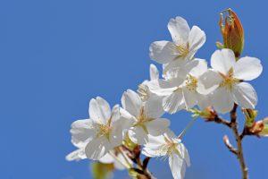 【山桜】ヤマザクラ