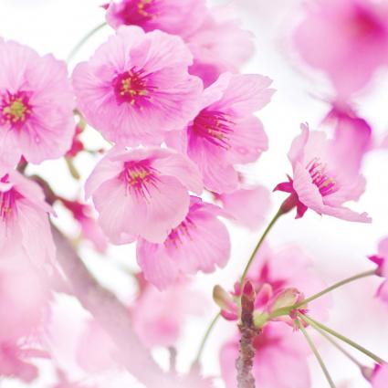 桜(サクラ)の種類