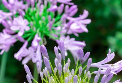 アガパンサス(紫君子蘭)